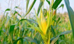 Preço do milho cai com desvalorização do dólar