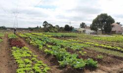 Chuva e seca prejudicou andamento de horta comunitária