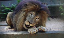 """Morte do leão """"Gaúcho"""" no zoológico de Cascavel"""