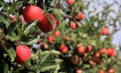 Impactos do clima na produção de frutas